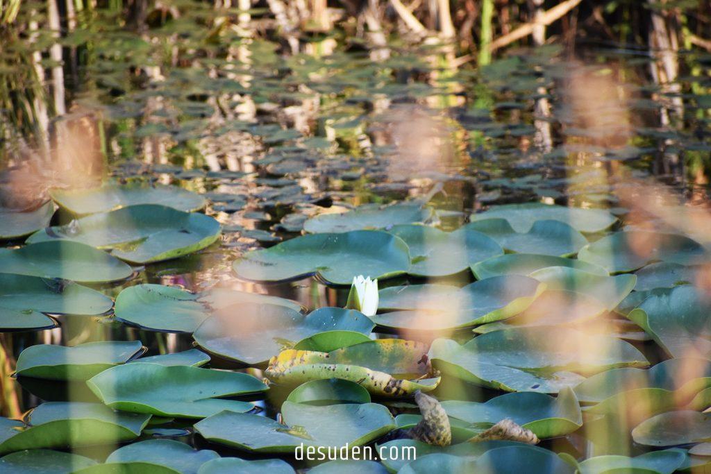 Urasar water lily lake