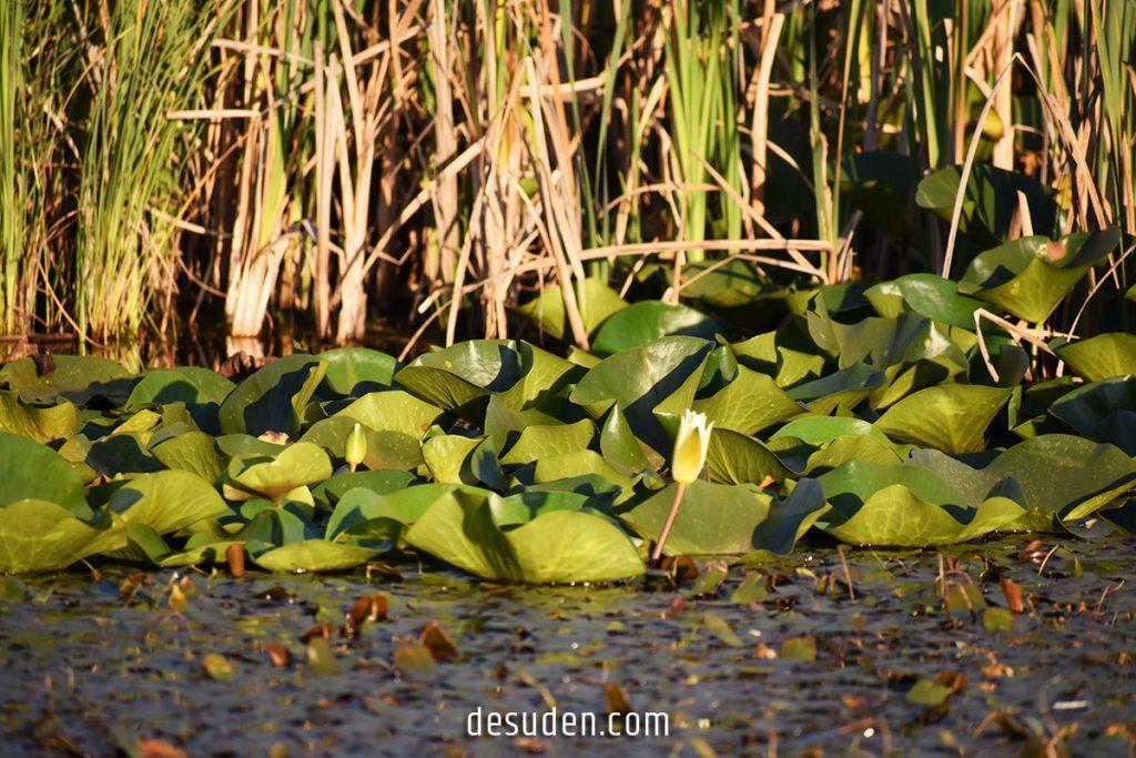 Urasar lake of water lilies / Ուրասարի ջրաշուծանների լիճ, Լոռի